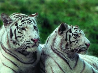 beauval tigre balnc